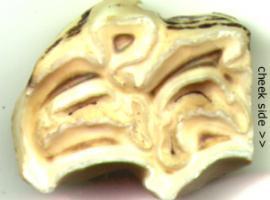 Upper Molar Occlusal Surface